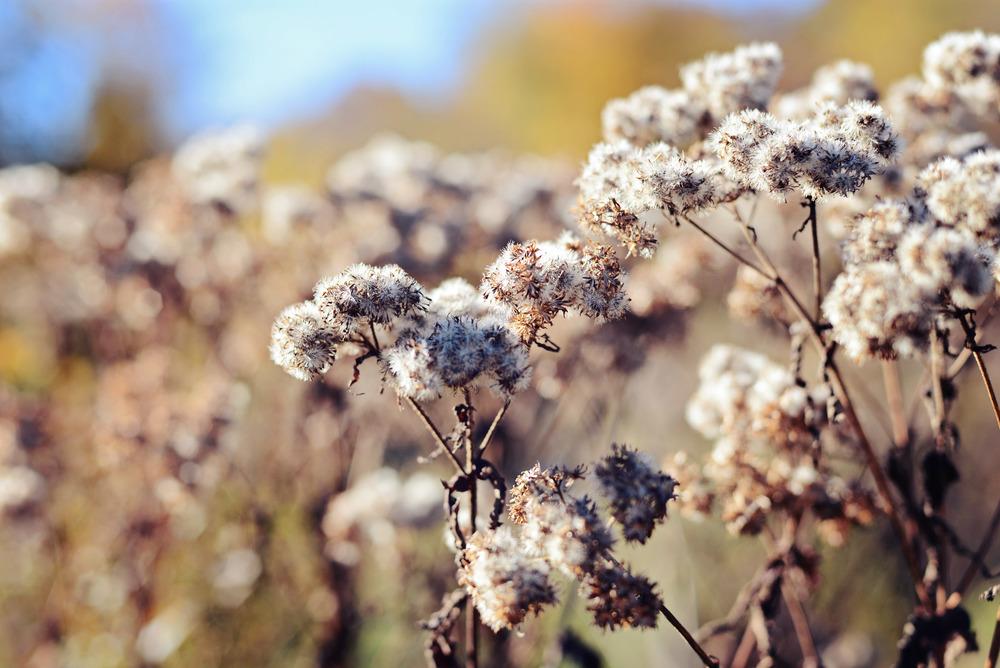 DSC_4612 fluffy flowers.jpg