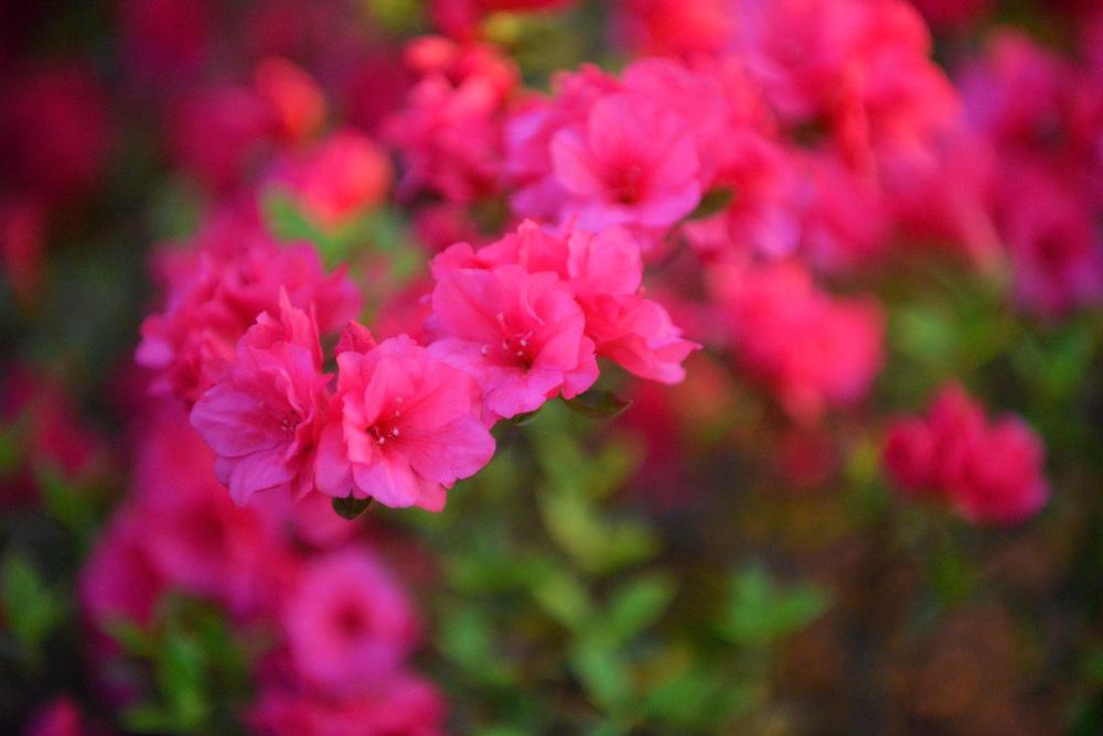 DSC_8262 bright pink flowers.jpg