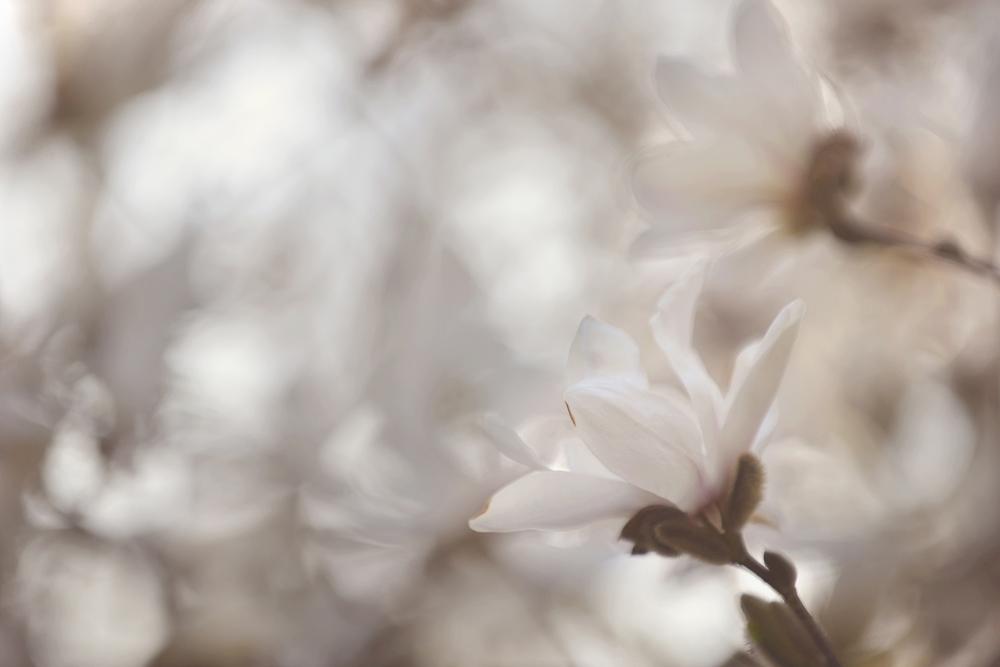 _DSC5218 white magnolia impressionist web.jpg