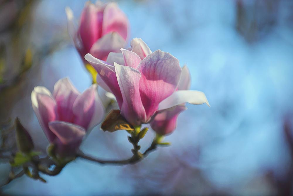 _DSC6676 pink magnolia 2016 web.jpg