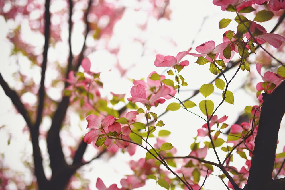 DSC_5034 pink flowers tree.jpg
