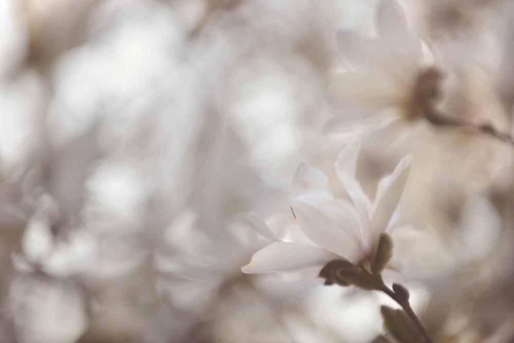 _DSC5218 white magnolia impressionist web 2.jpg