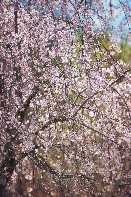 DSC_8230 3 pink blossoms web.jpg