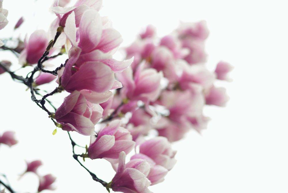 DSC_5353 pink magnolias web gallery.jpg