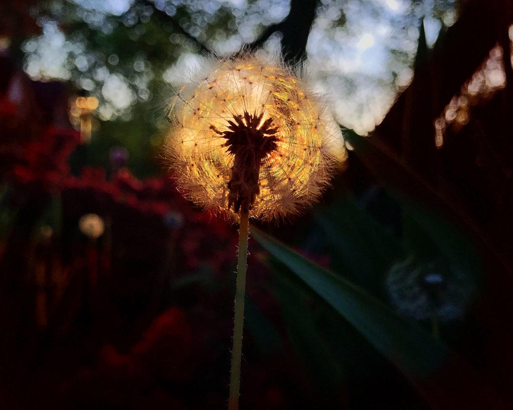 IMG_6071 dandelion gallery.jpg