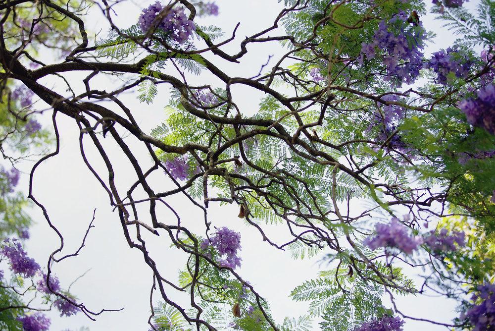 DSC_1800 jacaranda branches.jpg