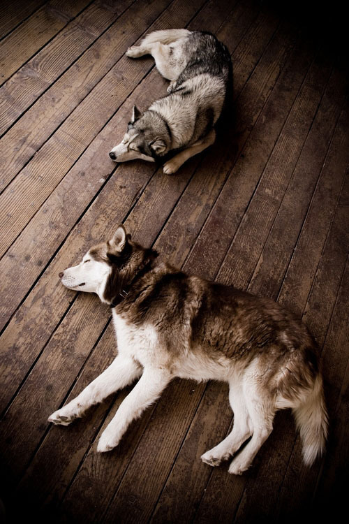 387-sleeping-huskies-47346e79-sz500x750-animate.jpg