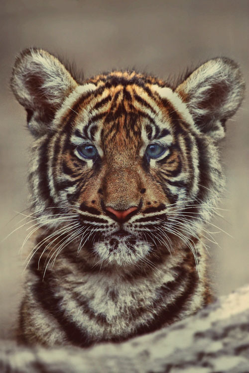 160-blue-eye-tiger-32474afb-sz500x750-animate.jpg