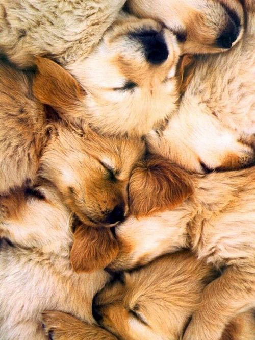 28-puppies-golden-retrievers1.jpg