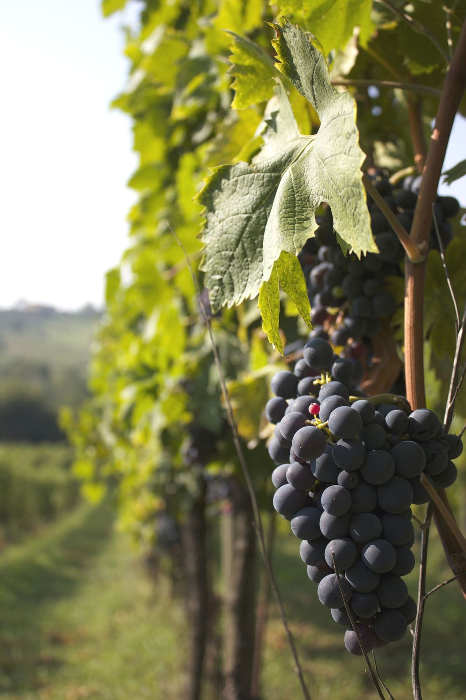 Lucca wine region.jpg