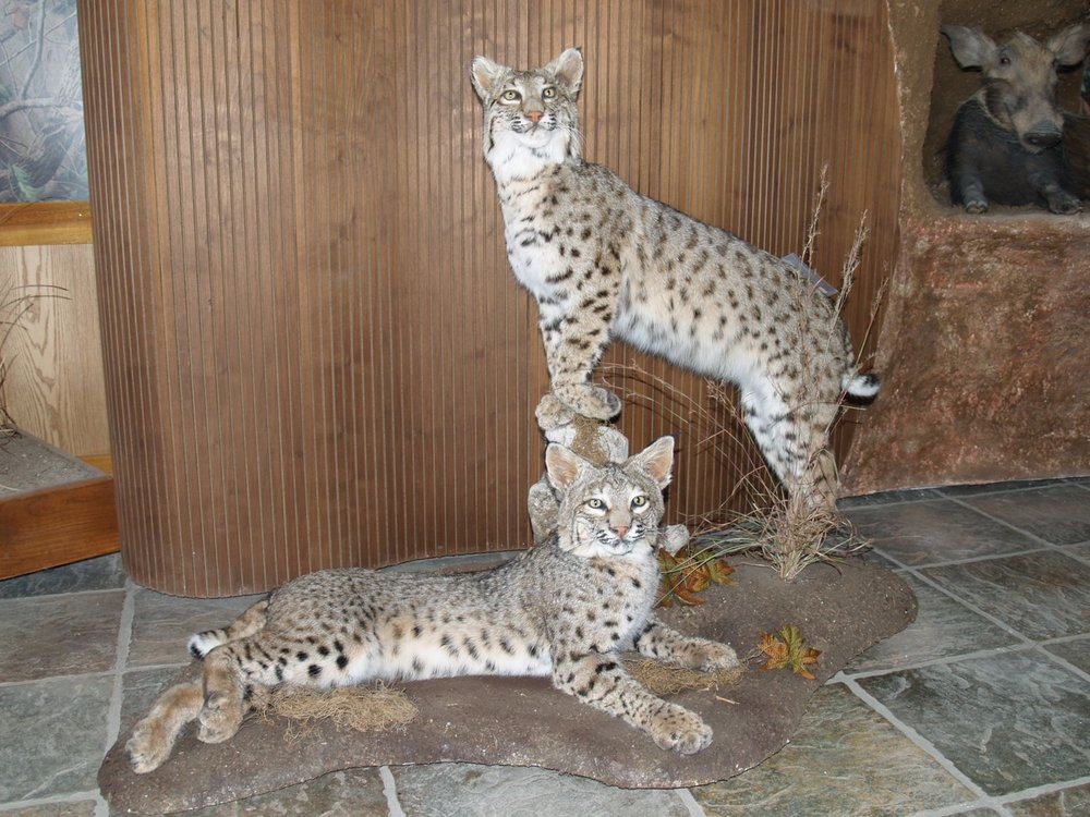 Taxidermy - Bobcat pair
