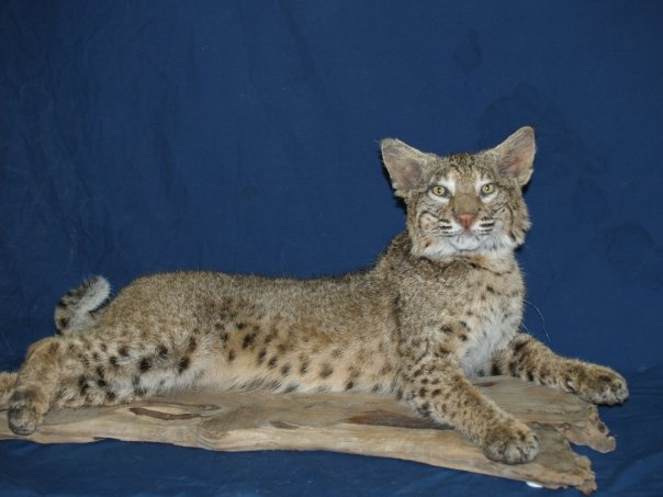 Taxidermy - Bobcat laying down