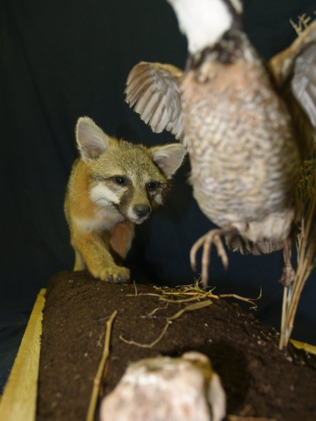 Taxidermy - Grey fox stalking quail