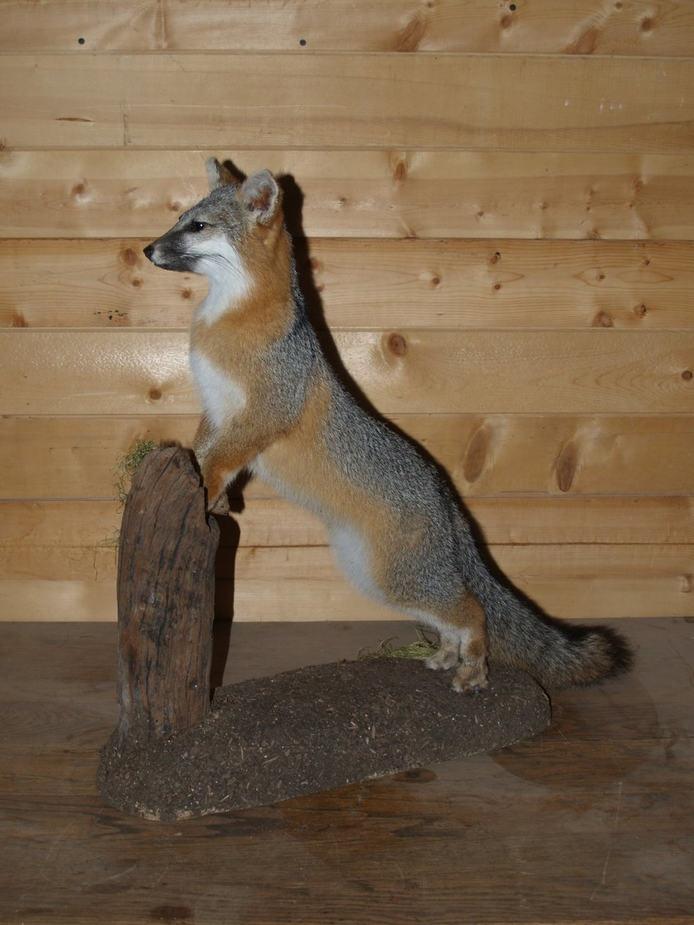 Taxidermy - Grey fox standing