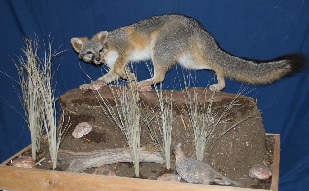 Taxidermy - Grey fox stopped in his tracks