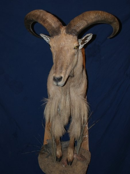 Taxidermy - Half Audad