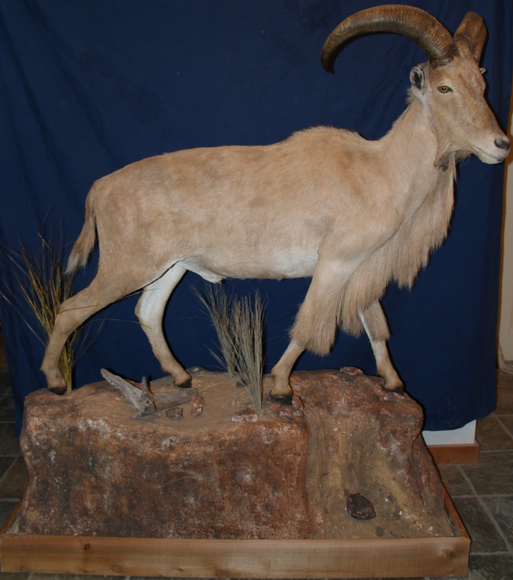 Taxidermy - Lifesize Audad with habitat of Palo Duro Canyon