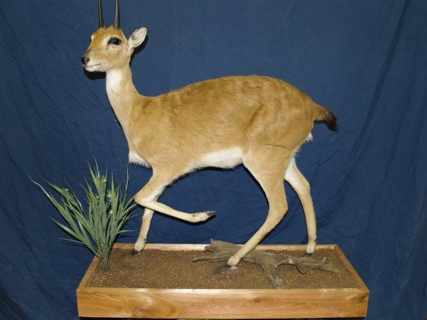 Taxidermy - Oribi