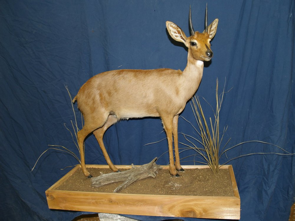 Taxidermy - Steinbok