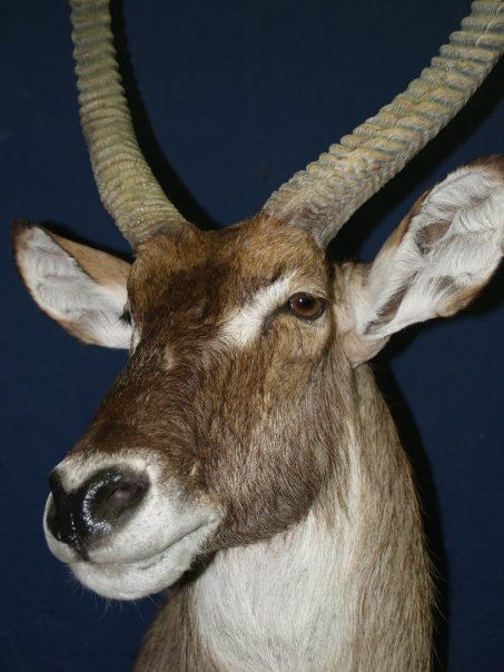 Taxidermy - Waterbuck