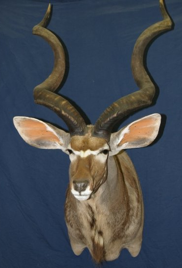 Taxidermy - Kudu greater