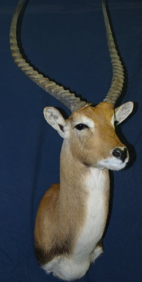 Taxidermy - Lechwe
