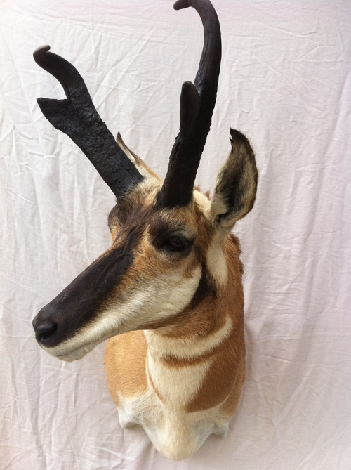 Taxidermy - Pronghorn Antelope