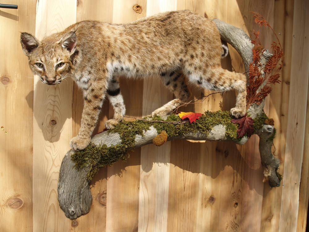 Bobcat Mount on Tree Branch