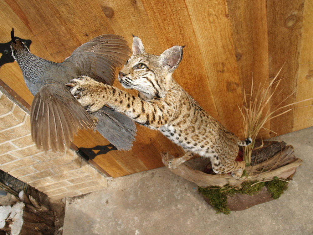 Leaping Bobcat after valley Quail - Taxidermy