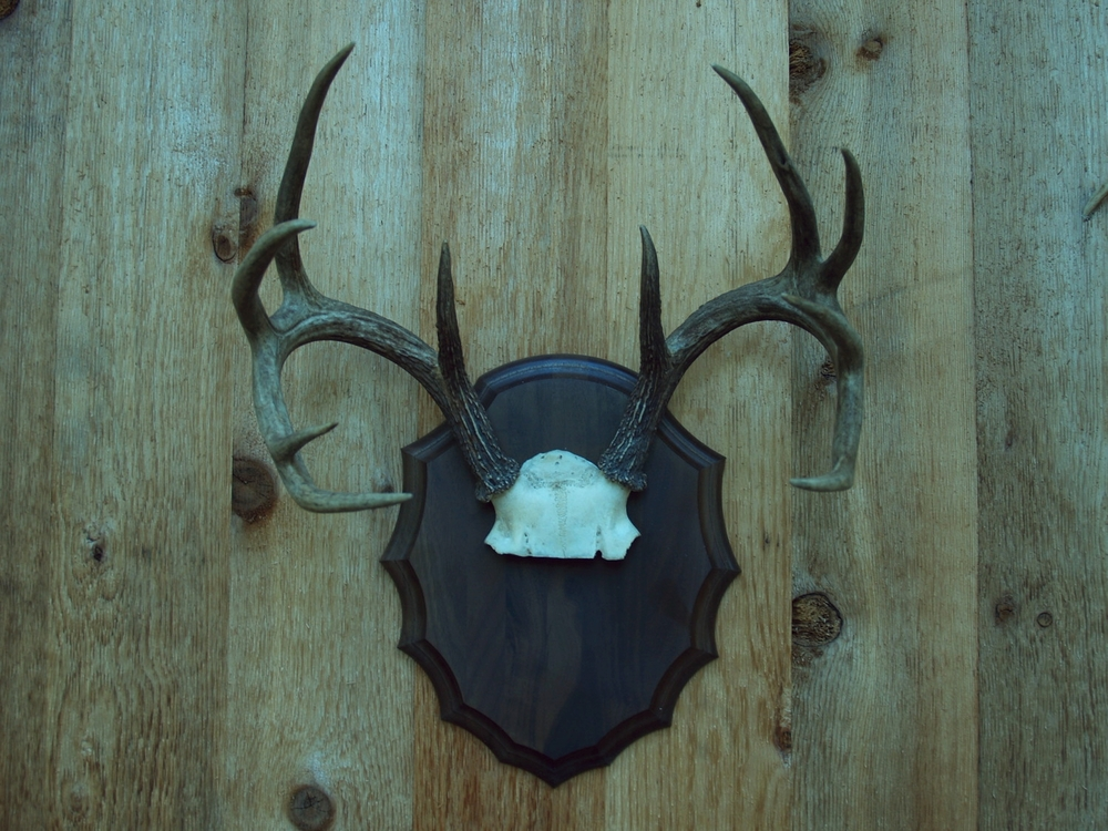 Horn Mount - Deer Antler Mount