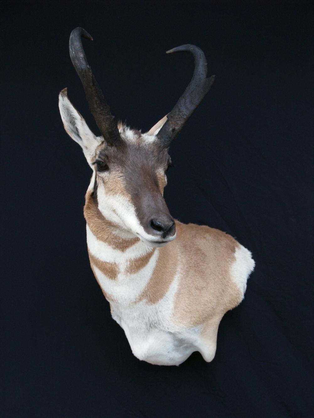 Pronghorn Antelop Wall Pedistal