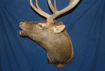 Taxidermy - Elk bugling