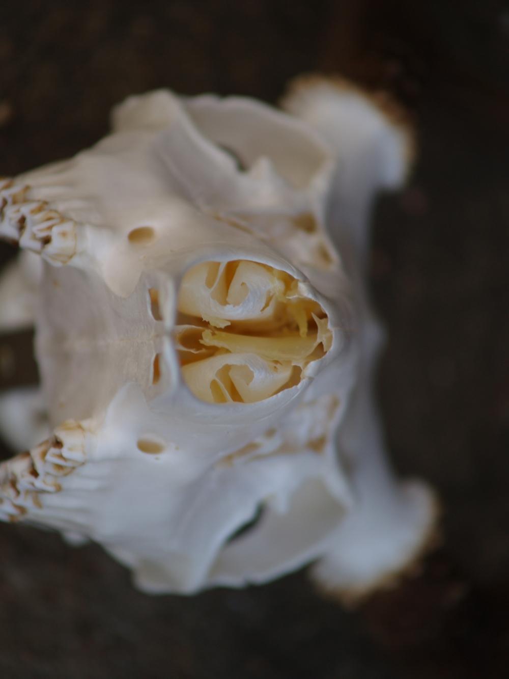 Delicate Nasal Bones