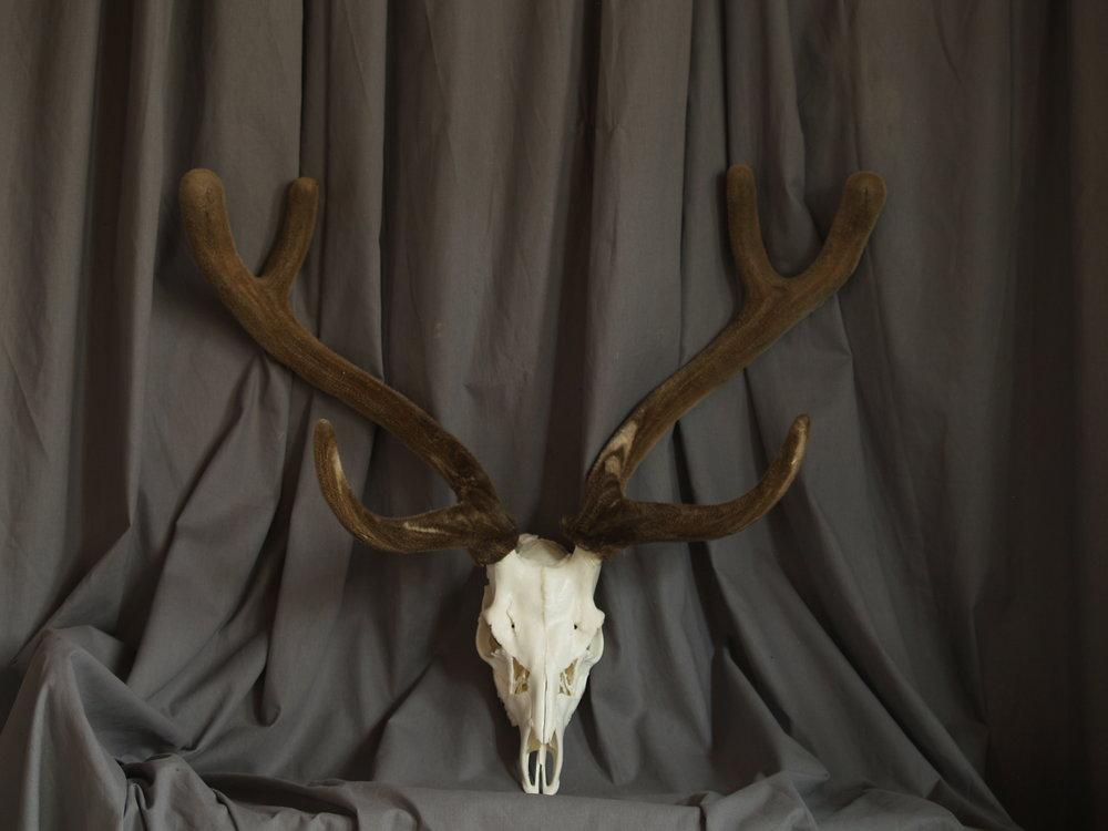 audad, axis, velvet, skulls, pronghorn 018.JPG