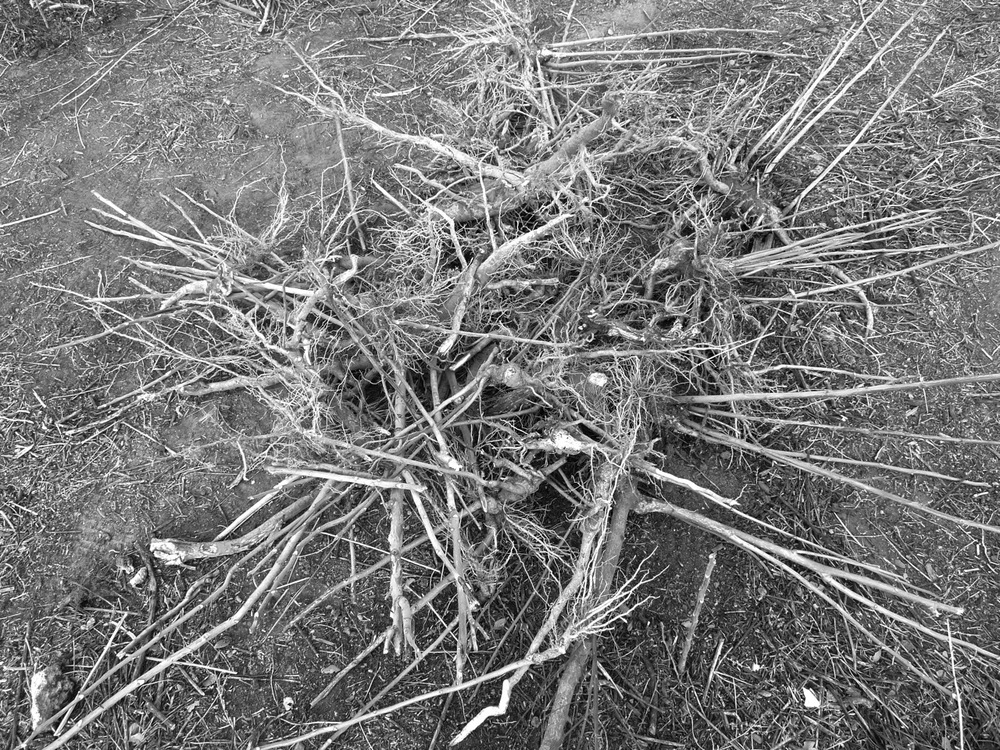 "30 January 2014: A pile of roots wrestled from the dirt. At the time, of course, we had no idea what we were dredging up. Later, after the summer rain brought back its leaves and color, we learned it is called the ""Tree of Heaven"" (""Alianthus,"" from the Ambonese word ""ailanto,"" meaning: tree reaching for the sky), a deciduous invasive native to the dividing shores of the Yellow River, where it is called 臭椿 in Chinese (literally: foul-smelling tree). It is one of the oldest plants recorded in Li Shizhen's Compendia of Materia Medica, and its bark was used to treat asthma, epilepsy, malaria, and so on. During the mid-1700s, ""chinoiserie"" brought its spear-headed blades to Europe, and then America. It arrived in San Francisco during the Gold Rush, then traveled with the railroad east. At the turn of the century, the Chinese population in Marfa neared three hundred, imagine that.  That said, the Alianthus is famous for tearing through foundations with its extreme dexterity and grow-anywhere attitude. Interlocking roots burrow underground like wire mesh to form nutrient-rich capillaries in the soil. Meatier parts of the root are bright orange, like a tropical fruit. During mating season and when it is being uprooted, it will emit a smell not unlike the smell of rotting cashews."