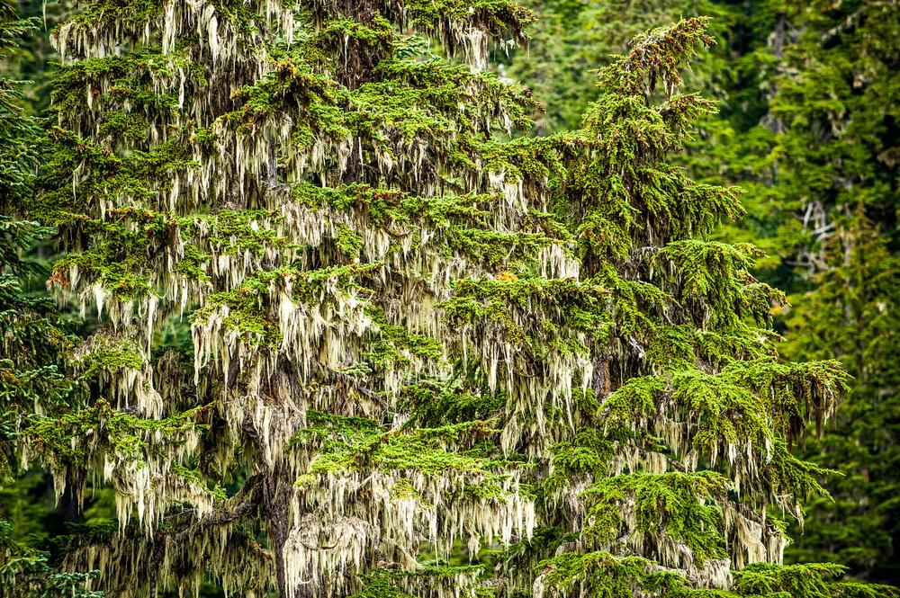 Subalpine Tree Moss