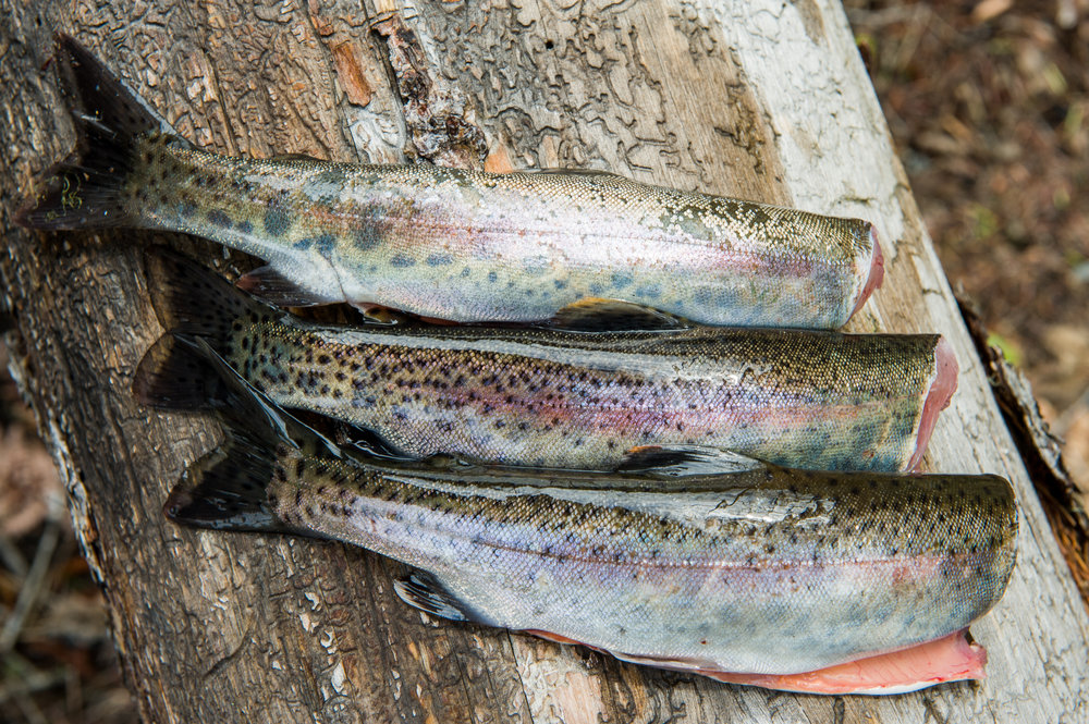 Freshly Cleaned Rainbow Trout