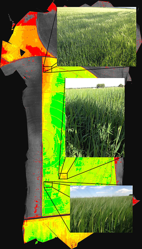 DVI image of canopied barley field clearly identifies stronger and weaker field zones. Notice the large, whitish barley heads in the image of the green area on the ground and the lack of development in the yellow and orange hole in the southern part of the field. In the weak northern area, the red finger that extends into the field corresponds to the greener areas in the image, where the barley has not begun to produce grain yet.