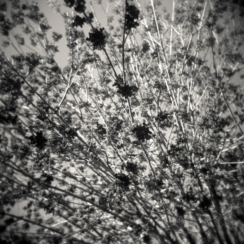 04/02 – Cherry Blossom Tree   Gelatin Silver Print on Ilford Warmtone Fiber Paper © 2014, Gina DeGideo