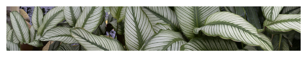 "Calathea Plant, 2002 18"" x 96"""