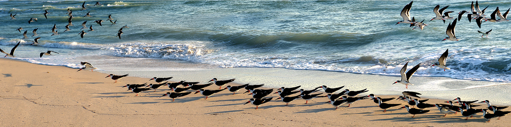 "Black Skimmers at South Beach, 2005  21"" x 72"""