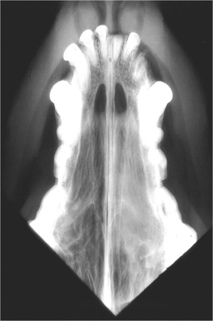 Intranasal tumor
