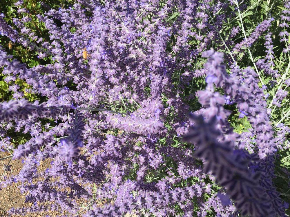 Russian Sage in August