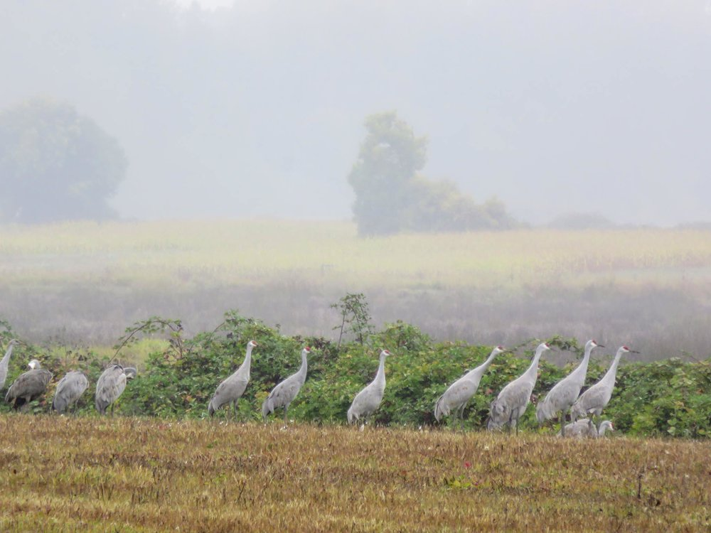 Sand hill cranes on Sauvie Island, photo by Jennifer
