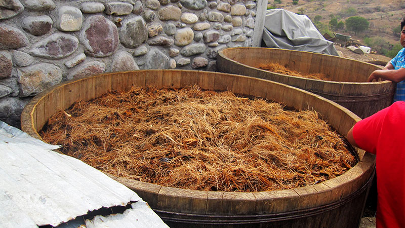 fermenting roast agave