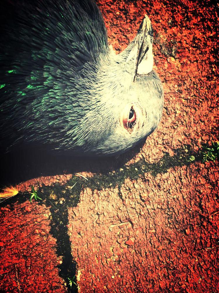 pigeonCU.jpg