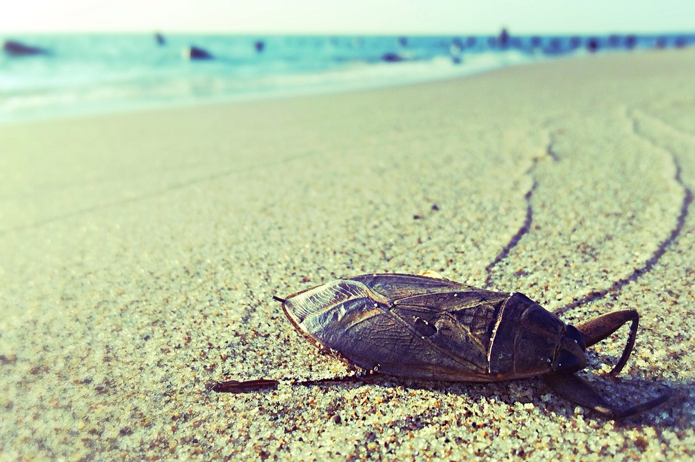 A dying, giant water bug at Oval Beach, Saugatuck, MI