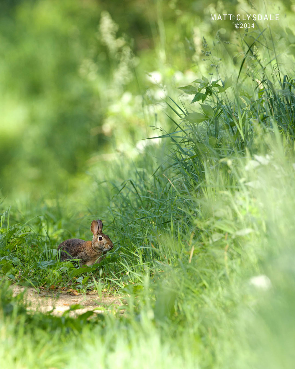 Eastern Cottontail Rabbit - Kalamazoo Nature Center, Bluebird Trail