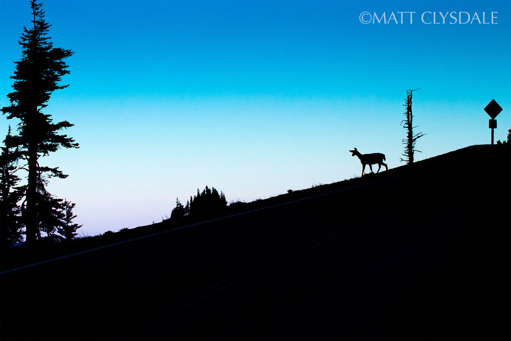 Black Tail Deer on slope. Hurricane Ridge - Olympic National Park, Washington
