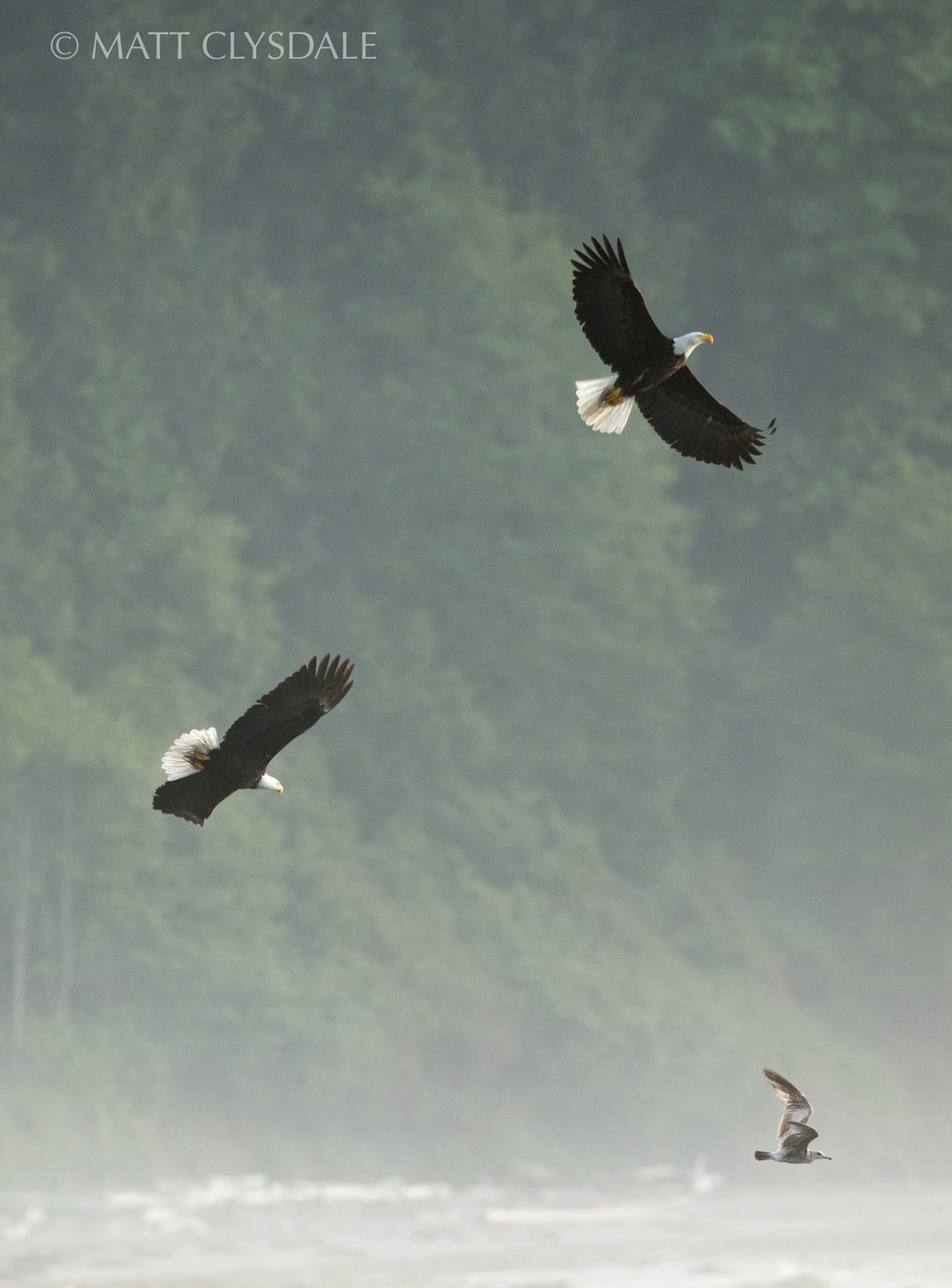 Crescent Bay Eagle Pair